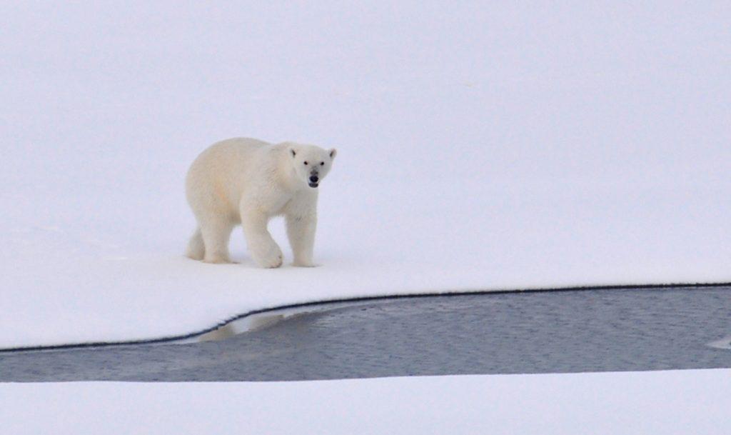 polar bear plunge and dementia